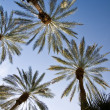 Date Palms Above — Stock Photo