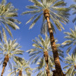 Date Palms on Blue — Stock Photo