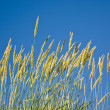 Yellowstone Grass — Stock Photo