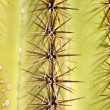 Stock Photo: Cactus Spines