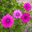 Fuschia Flowers — Stock Photo