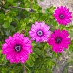 Fuschia Flowers — Stock Photo #2629090