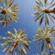 Luminous Date Palm Grove — Stock Photo