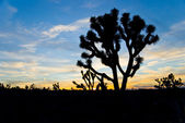 Iconic Joshua Tree at Sunset — Stock Photo