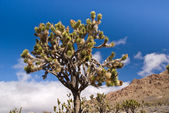 Mojave Joshua Tree — Stock Photo