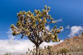 Mojave Joshua Tree — Stock Photo