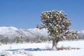 Joshua Tree Sentinel in Desert Snow — Stock Photo