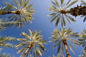 Luminous Date Palm Grove — Stock Photo