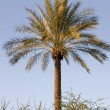 Palm Tree — Stockfoto #2601465