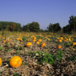 Pumpkin field — Stock Photo #2634466