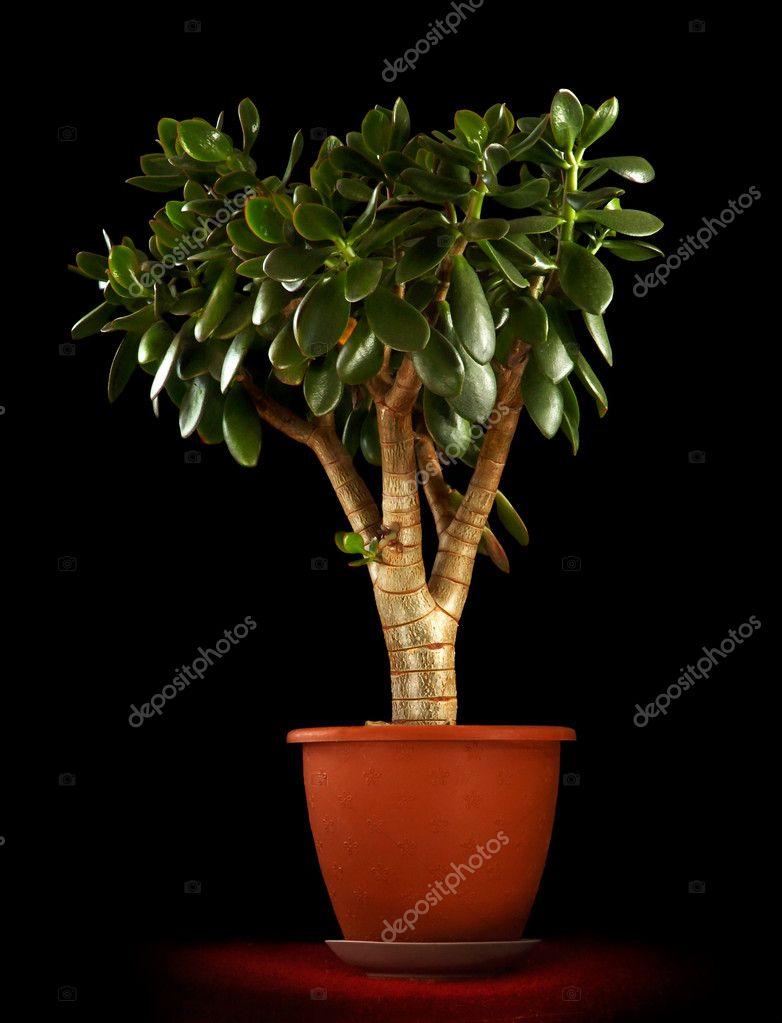 Дерево миллионера цветок фото