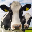 Cows on pasture — Stock Photo #2554944