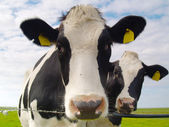 Kor på bete — Stockfoto