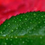 Rose leaf — Stock Photo