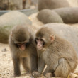 Two small fluffy light brown monkeys — Stockfoto
