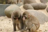 Två små fluffiga ljus bruna apor — Stockfoto