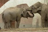 Dois elefantes cinzento em um perfil — Fotografia Stock