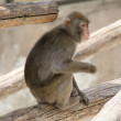 Brown Japanese macaque (snow monkey) - Stock Photo