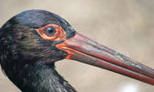 Black stork with a long bea — Stock Photo