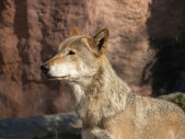 The large image of a standing wolf — Stock Photo