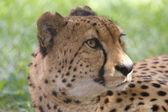 Muzzle of a cheetah lying — Stock Photo