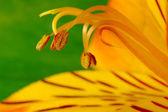 Pollen of Freesia (Macro) — Stock Photo