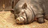 Pig. Life satisfaction. — Stock Photo
