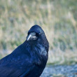 Stock Photo: Raven in Profile