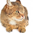 Domestic cat — Stock Photo