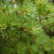 Green fir with drops — 图库照片