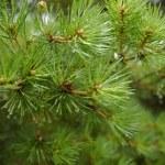 绿色冷杉与滴 — 图库照片