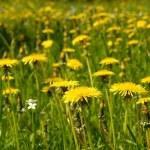Yellow dandelions — Stock Photo #2649506