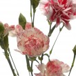 Tribute of carnations — Stock Photo