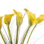 Постер, плакат: Five yellow calla lilies