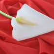 Royalty-Free Stock Photo: White  calla lily