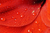 Petals of red flower — Stock Photo