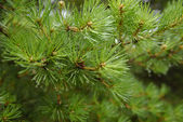 Green fir with drops — Stock Photo