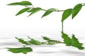 Les feuilles sur le rameau vert — Photo