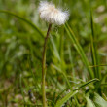 Single dandelion — Stock Photo #2650198