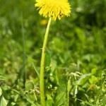 Single dandelion — Stock Photo #2650212