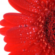 Red gerbera close up - Stock Photo