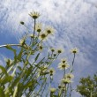 Stock Photo: Marguerite on sky background 2