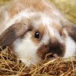 Rabbit on hay — Stock Photo #2651107