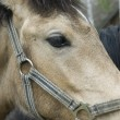 Horse head close up — Stock Photo