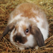 Rabbit on hay — Stock Photo #2651172