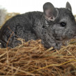 Grey nice chinchilla — Stock Photo