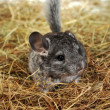 Stock Photo: Grey nice chinchilla