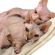 Two bald cats — Stock Photo