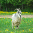 Goat with big horns - Stock Photo