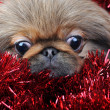 Brown puppy with  garland - Stock Photo